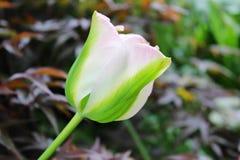 miękki różowy tulipan Zdjęcie Royalty Free