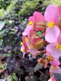 Miękkich części menchii kwiaty Obraz Stock