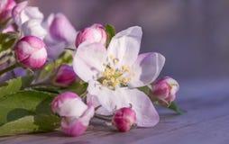 Miękkich części menchii kwiaty jabłoni kłamstwo na drewnianym szarość stole na zamazanym purpur i menchii tle Pi?kny wiosny bokeh obraz stock
