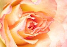 Miękkich części menchii róża Zdjęcie Royalty Free