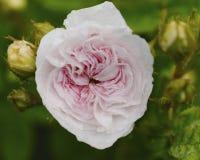 Miękkich części menchii róża po deszczu Fotografia Stock