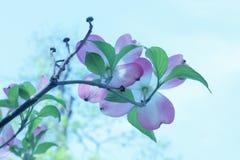 Miękkich części różowi dereniowi bossoms na gałąź w wiośnie - zamazany tło Obraz Royalty Free