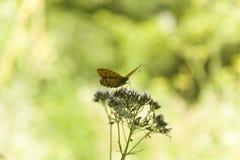 miękkie ogniska, Motyl na kwiatach/piękny motyl & kwiat Fotografia Royalty Free