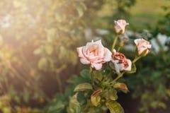 miękkie róże Obrazy Royalty Free