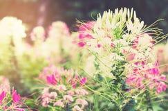 Miękkiego światła Cleome Hassleriana kwiat Zdjęcia Royalty Free