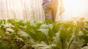 Miękkiego wizerunku mężczyzna żniwa organicznie Chiński kale w szklarni nu Fotografia Royalty Free