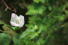 Miękkiej części Bougainvillea Różowy kwiat Obrazy Stock