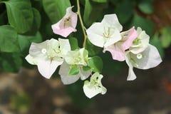 Miękkiej części Bougainvillea Różowy kwiat Zdjęcia Royalty Free