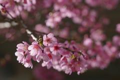 Miękkiej części Sakura kwiatu różowy okwitnięcie w Dalat, środkowy średniogórze Vietnam zdjęcie stock