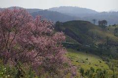 Miękkiej części Sakura kwiatu różowy okwitnięcie w Dalat, środkowy średniogórze Vietnam obraz royalty free