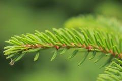 Miękkiej części zielony tło jedlinowa gałąź Zdjęcie Stock