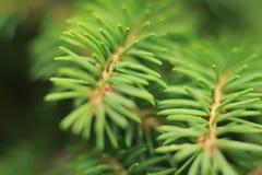 Miękkiej części zielony tło jedlinowa gałąź Zdjęcie Royalty Free