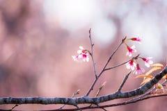 Miękkiej ostrości Czereśniowego okwitnięcia lub Sakura kwiat na natury plamy backgr Obraz Royalty Free