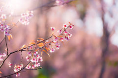 Miękkiej ostrości Czereśniowego okwitnięcia lub Sakura kwiat na natury plamy backgr Zdjęcie Royalty Free
