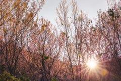 Miękkiej ostrości Czereśniowego okwitnięcia lub Sakura kwiat na natury plamy backgr Zdjęcia Stock