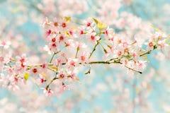 Miękkiej ostrości Czereśniowego okwitnięcia lub Sakura kwiat na natury tle Zdjęcia Royalty Free