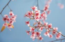 Miękkiej ostrości Czereśniowego okwitnięcia lub Sakura kwiat na natury tle Obrazy Royalty Free