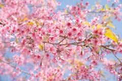 Miękkiej ostrości Czereśniowego okwitnięcia lub Sakura kwiat na natury tle Obraz Stock