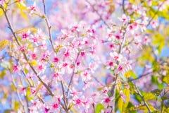 Miękkiej ostrości Czereśniowego okwitnięcia lub Sakura kwiat na natury tle Fotografia Royalty Free