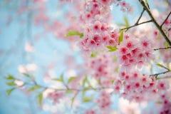 Miękkiej ostrości Czereśniowego okwitnięcia lub Sakura kwiat na naturze Fotografia Royalty Free