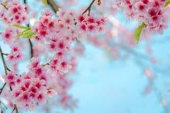 Miękkiej ostrości Czereśniowego okwitnięcia lub Sakura kwiat na naturze Fotografia Stock