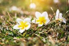 Miękkiej ostrości kwiatów frangipani Tropikalny plumeria na zielonej trawie Obrazy Royalty Free