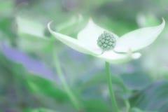 Miękkiej ostrości okwitnięcia dereniowy tło z zieleniami, biel i purples Obrazy Royalty Free
