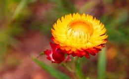 Miękkiej ostrości słomiany kwiat, Wiecznotrwały dla plamy tła w dziąsłach lub Fotografia Stock
