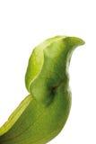 Mięsożerna roślina, zakończenie obraz stock