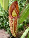 mięsożerna zbliżenia miotacza roślina Fotografia Stock