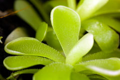 mięsożerni egzotyczni pinguicula rośliny sethos Obrazy Stock