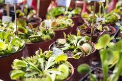 Mięsożernych rośliien Dionaea muscipula na plenerowym rynku obrazy royalty free