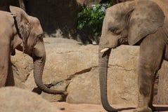 Miłość Afrykański Bush słoń - Loxodonta africana Obraz Royalty Free