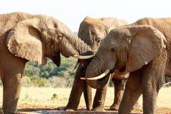 Miłość - afrykanina Bush słoń Zdjęcia Royalty Free