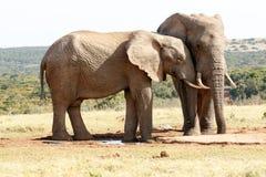 Miłość - afrykanina Bush słoń Zdjęcia Stock