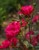 Miłość i czerwień, jaskrawy, zaświecająca słońcem obraz royalty free