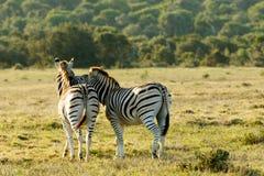 Miłość na skałach 1 - Burchell zebra Zdjęcie Royalty Free
