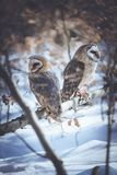 Miłość ptaków stajni sowy Obraz Stock