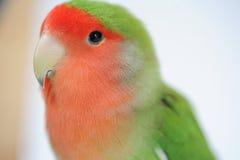Miłość ptak Obrazy Stock