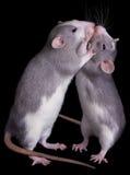 miłość szczur Zdjęcia Stock