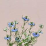 Miłość w mgły Nigella damasceny błękitnym kwiacie Zdjęcia Stock