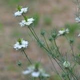 Miłość w mgły Nigella damasceny kwiacie Zdjęcie Stock