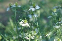 Miłość w mgły Nigella damasceny kwiacie Zdjęcie Royalty Free