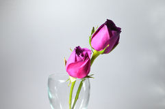 Miłości lub walentynki róże dla kochanków. Obrazy Stock