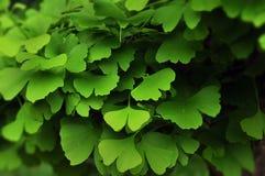 Miłorzębów liście Zdjęcia Stock