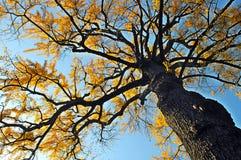 miłorzębu drzewo Zdjęcia Royalty Free