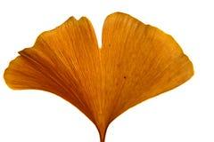 Miłorzębu liść Zdjęcie Royalty Free