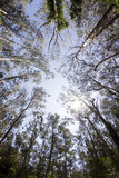 mi μνημείων muir εθνικά δάση δέντρ&omeg Στοκ Εικόνες