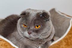 Mi animal doméstico cariñoso y adorable Un escocés del gato dobla Pelusi llamado gris y los ojos de la naranja fotos de archivo