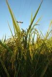 Mi arroz, mi vida Foto de archivo libre de regalías